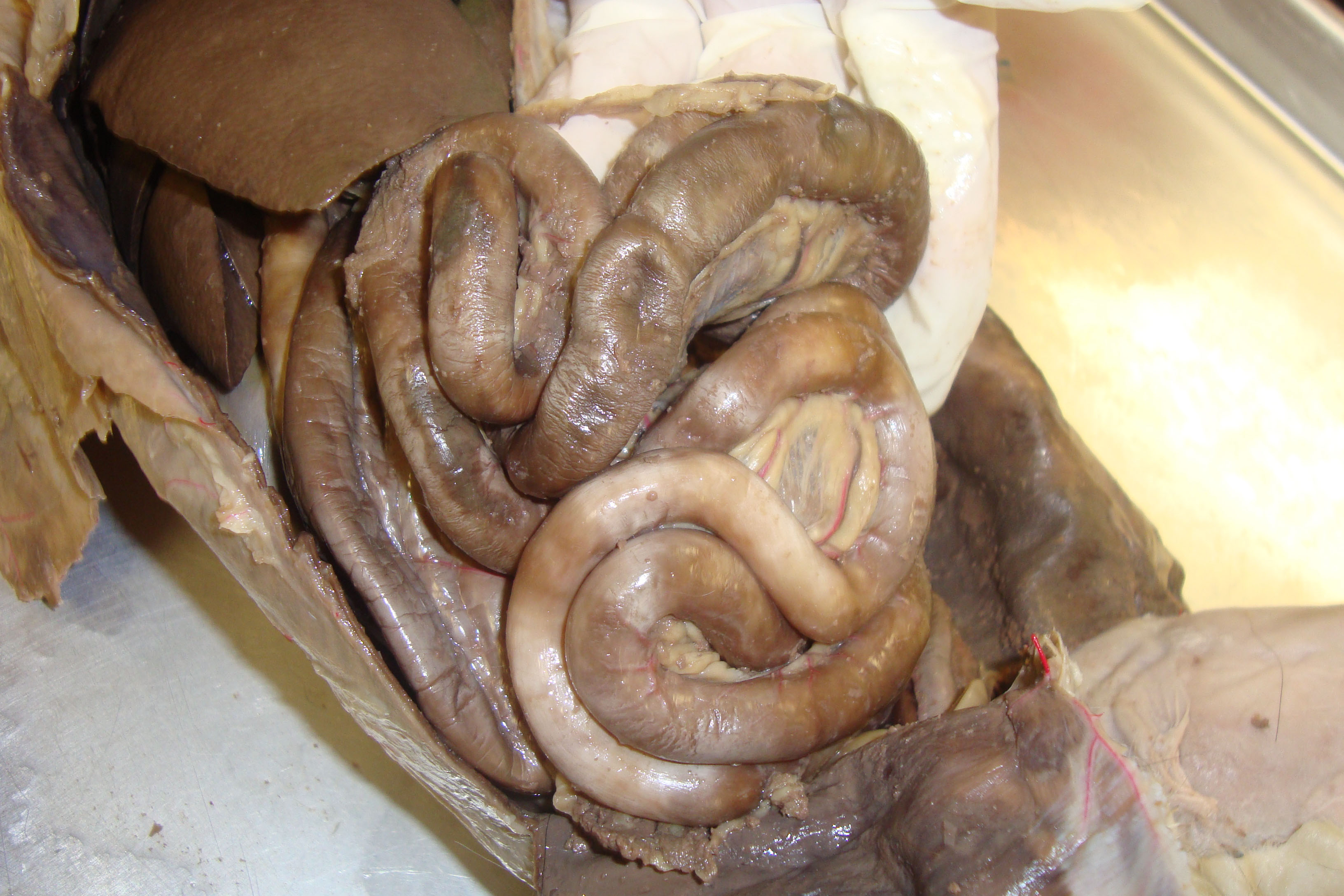 Real small intestine stretched out
