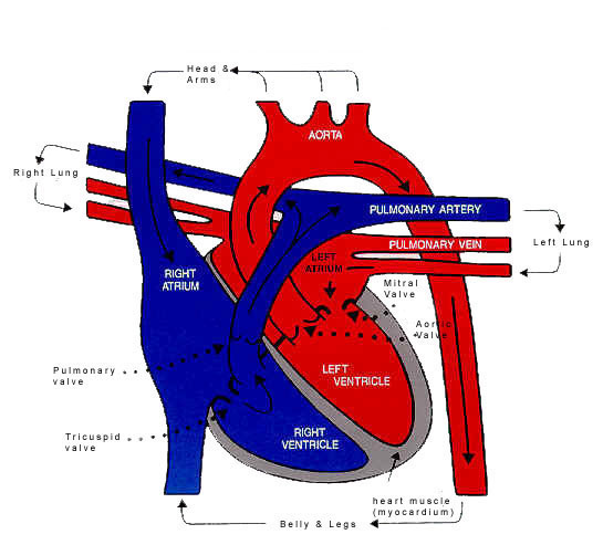 cat manuals / blue3main genevieve: circulatory sysytem, Human Body