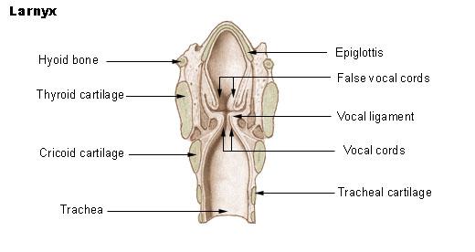 relationship between glottis and epiglottis
